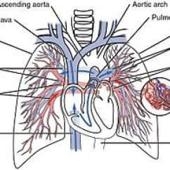 Veins In The Foot Diagram Single Phase Induction Motor Forward Reverse Wiring Pulmonary Circulation - Wikipedia