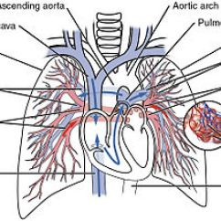 Coronary Arteries Diagram Branches Digital Panel Meter Wiring Circulatory System - Wikipedia
