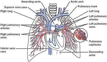 coronary arteries diagram branches 350 warrior wiring circulatory system - wikipedia