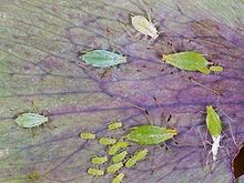aphid,pest,permaculture,organic