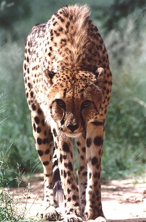 English: One of the non-releasable cheetahs re...
