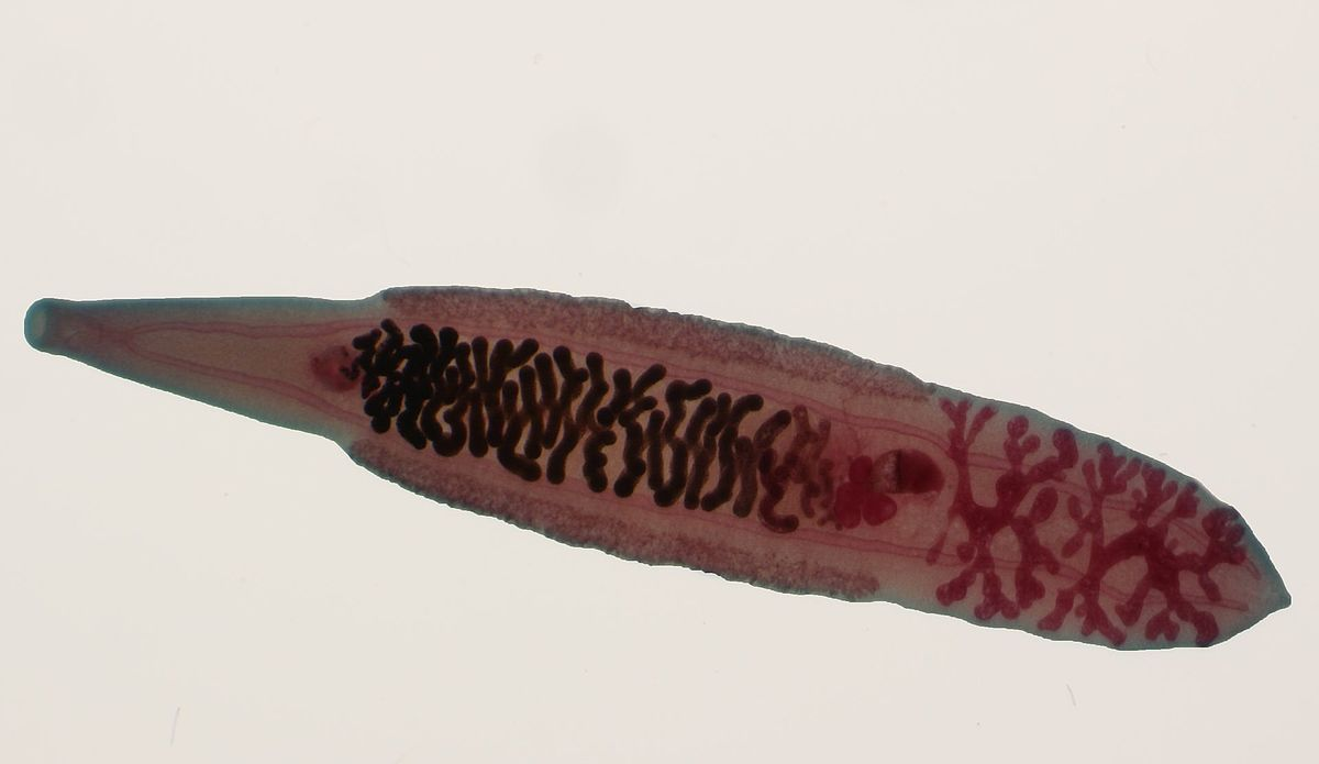 中華肝吸蟲 - 維基百科,輕者下痢,自由的百科全書