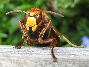 European hornet Français : Frelon (Vespa crabro)