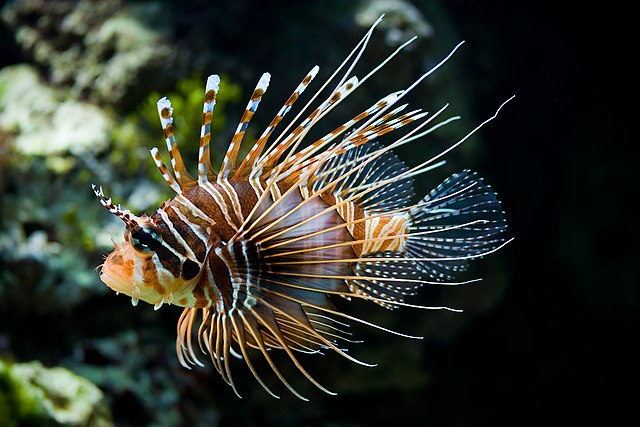 Lion fish / Dragon fish