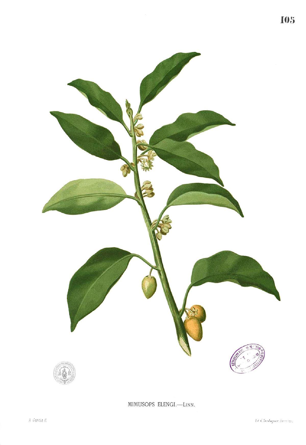 Tanjung pohon  Wikipedia bahasa Indonesia ensiklopedia