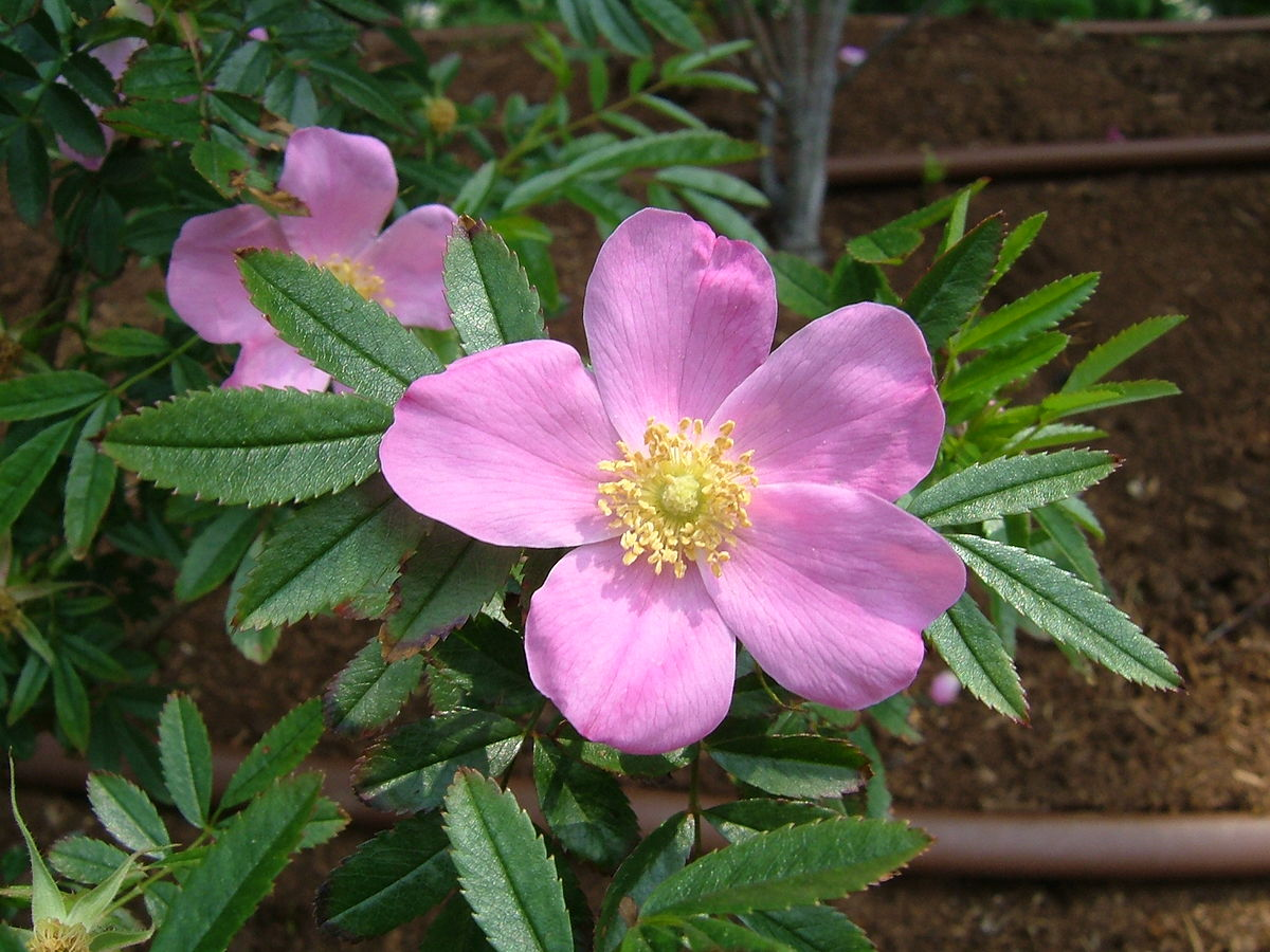 Rosa nitida  Wikipedia