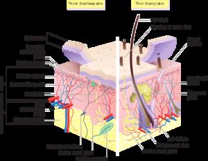 English: Skin layers