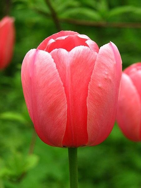 File:Tulip cv. 29.JPG