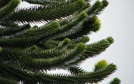 araucaria araucana bitkisi ile ilgili geniş bilgi