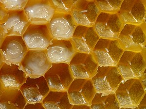 Honeycomb of honey bees with eggs and larvae. ...