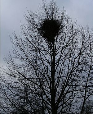 English: Magpie nest.