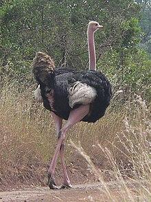 Masajstruts (S. c. massaicus) i Nairobi National Park i Kenya. Notera den rosaröda färgen på lår och hals.