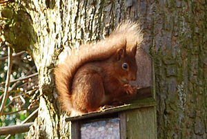 English: Red Squirrel One of the many red squi...