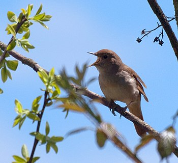 English: Common Nightingale (Luscinia megarhyn...