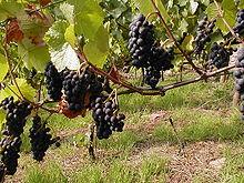 Rote Weintrauben am Rande des Fränkischen Rotweinwanderwegs an einem sonnigen Oktobertag