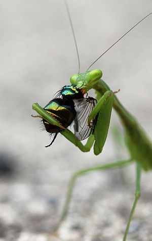 English: A South African praying mantis (Mioma...