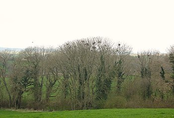 English: Spring Copse with Rookery Spring Cops...