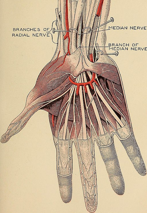 hand nerves diagram 1978 ct70 wiring carpal tunnel is it causing shoulder pain anatomy tests treatment your
