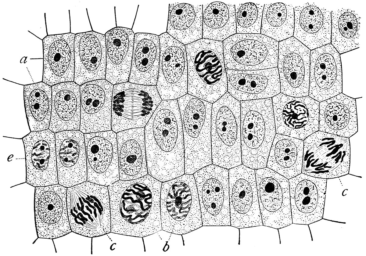 hight resolution of labeled onion cell diagram mitosi