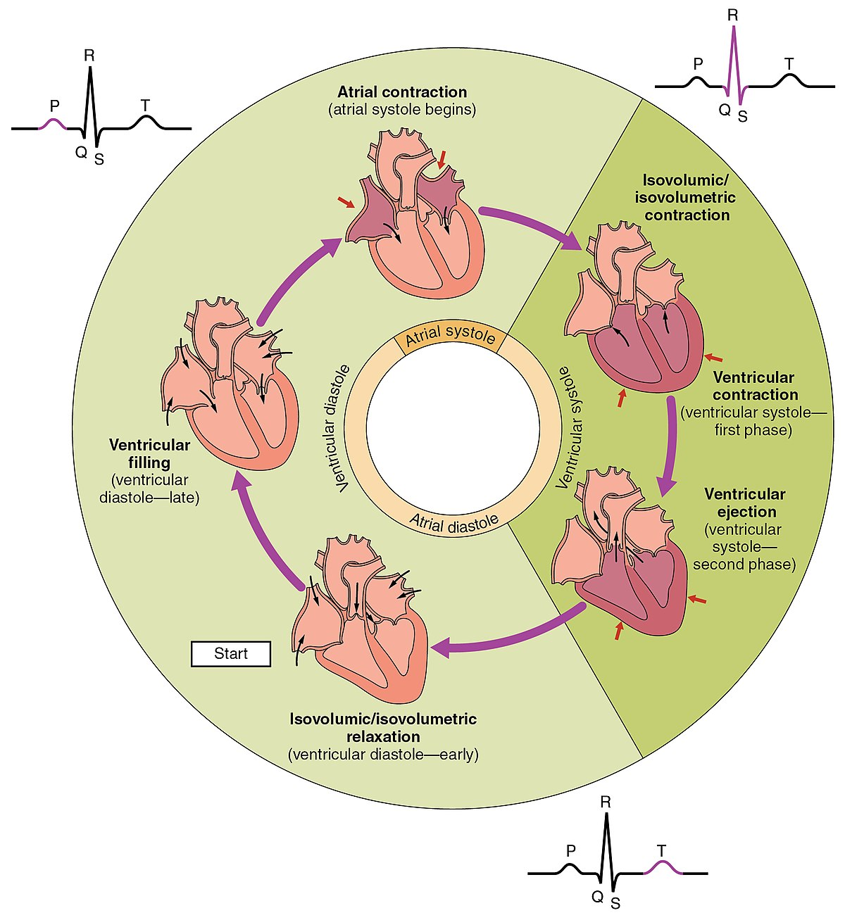 heart sounds diagram bell wiring telephone cardiac cycle wikipedia