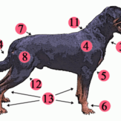 Canine Eye Diagram Right Vw Transporter Wiring T4 Dog Anatomy Wikipedia External Topography Of A Typical 1 Stop 2 Muzzle 3 Dewlap Throat Neck Skin 4 Shoulder 5 Elbow 6 Forefeet 7 Croup Rump 8