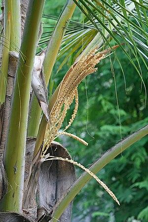 Coconut palm flowers