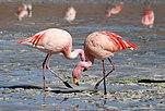 James-Flamingos (Phoenicoparrus jamesi), Bolivien