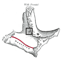 Foramen zygomaticotemporale