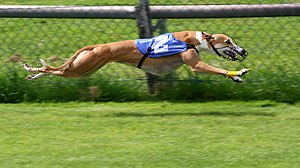Greyhound racing Français : Lévrier durant une...