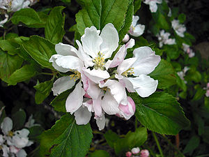 English: Flowers of an apple tree (Malus) in m...