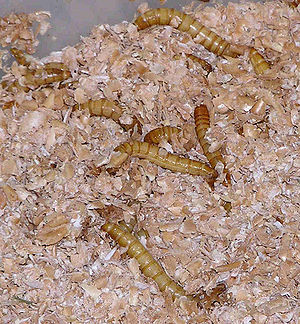 Mealworms nestled in a bedding of bran within ...