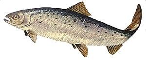 English: Atlantic salmon. Salmo salar.