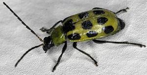 Spotted cucumber beetle (Diabrotica undecimpun...