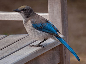 A juvenile Western Scrub-jay in Santa Cruz, Ca...