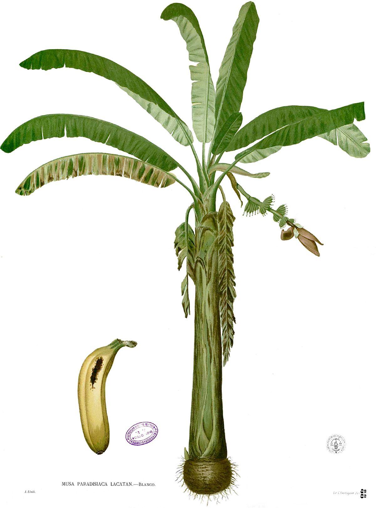 corn plant diagram wiring for master phone socket banan zwyczajny  wikipedia wolna encyklopedia