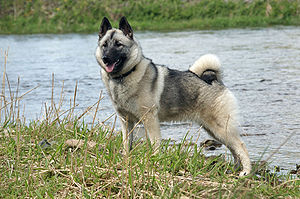 Norwegian Elkhound by the river