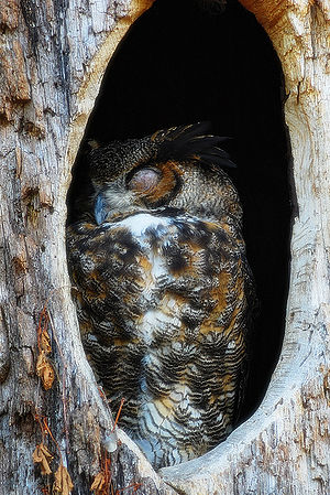 A Great Horned Owl sleeping at daytime in a ho...