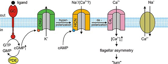 Cyclic nucleotidegated ion channel  Wikipedia