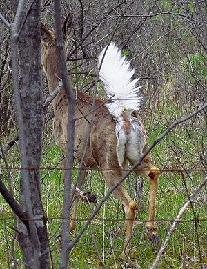 English: White-tailed Deer (Odocoileus virgini...