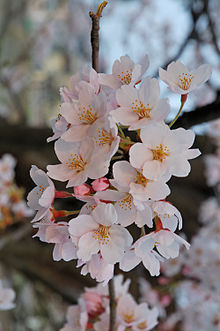 Cherry Blossoms from Fukushima