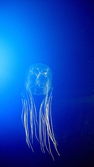 box jellyfish, tiny but dangerous