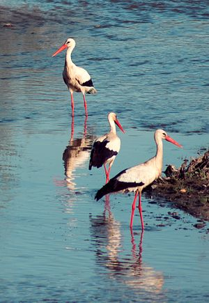 White Storks wading in Guadiana River, Badajoz...