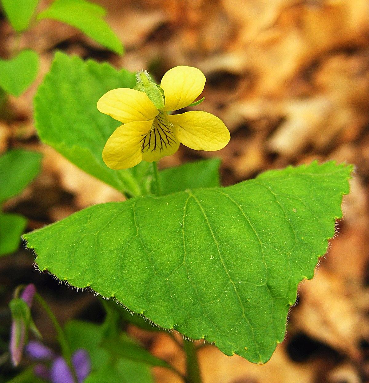 Viola pubescens  Wikipedia