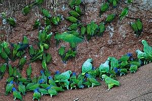 Many parrots at clay lick in Anangu, Yasuni Na...