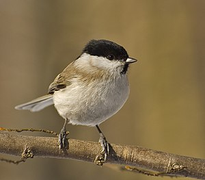 The Marsh Tit was once placed in the genus Par...
