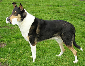 This Smooth Collie retrieves an obedience dumb...