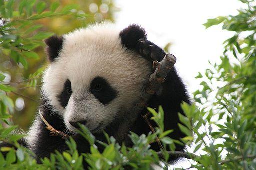 Su Lin giant panda bear cub at the San Diego Zoo