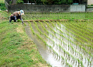 Working in the rice paddies in May in Sawara, ...