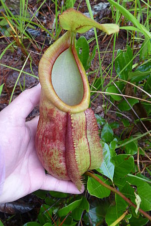 Nepenthes smilesii from Kirirom National Park,...