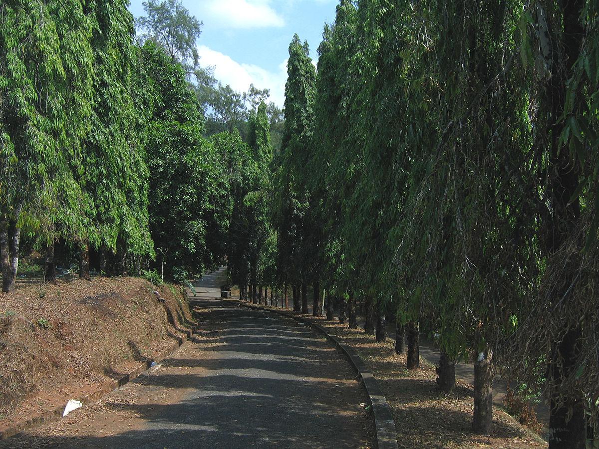 Polyalthia longifolia  Wikipedia la enciclopedia libre